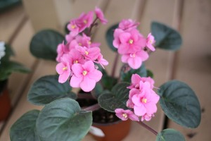 African Violet - Flowering House Plants for Sale in Bowie, MD