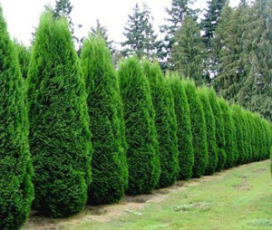 Arborvitae Emerald Green Privacy Trees for Sale at Patuxent Nursery