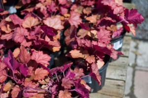 Coral Bells Heuchera Perennials for Sale Online
