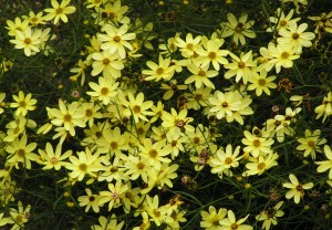 Coreopsis Sun Perennial for Sale Online