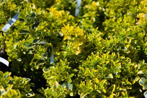 Euonymus For Sale Maryland Plant Nursery