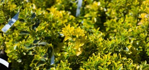 Euonymus, Privacy Shrubs For Sale in Bowie, MD