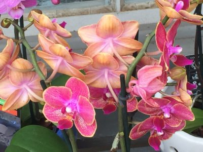 Orchids - Houseplants for Sale at Patuxent Nursery in Bowie MD