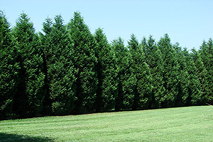 Leyland Cypress for Sale - Patuxent Nursery