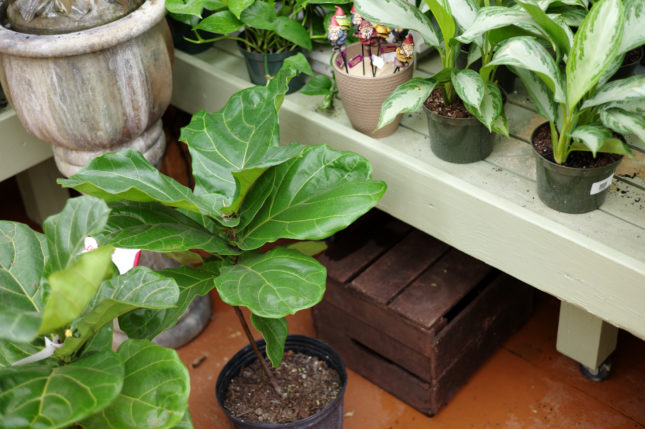 Fiddle Leaf Fig for Sale at Patuxent Nursery