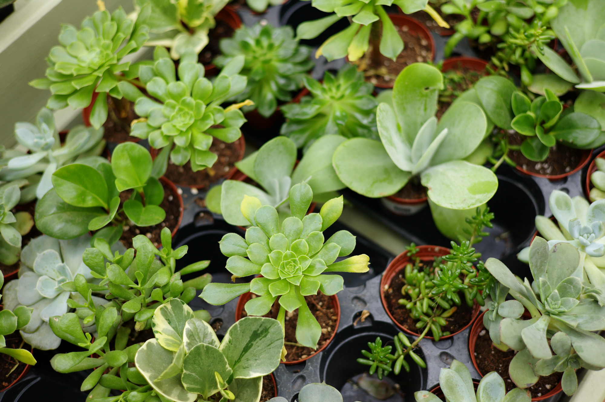 Succulent Houseplants for Sale in Maryland - Patuxent Nursery