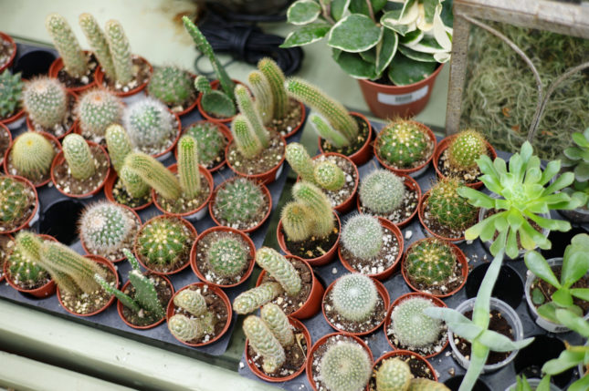 Succulents for Sale at Patuxent Nursery