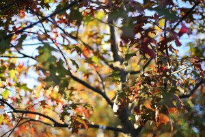Oak Tree - Top 5 Tree for Adding Fall Color to Your Yard - Patuxent Nursery
