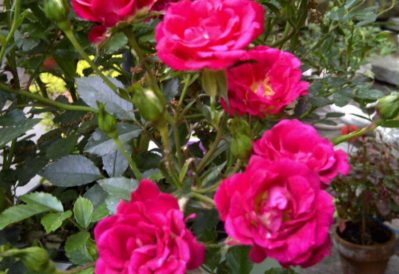 Red Drift Roses for Sale For Sale Maryland Plant Nursery