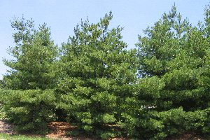 Eastern White Pine for Sale - Patuxent Nursery