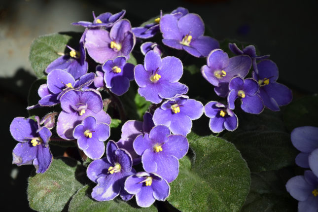 African Violet - Flowering House Plants for Sale - Patuxent Nursery