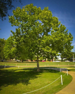 American Sycamore - Shade Trees for Sale - Patuxent Nursery, Bowie, MD