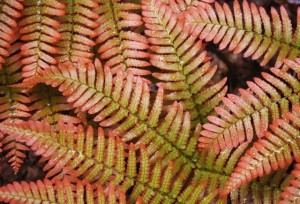 Autumn Brilliance Fern for Sale Online