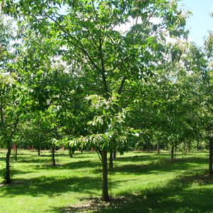 Edibles - Patuxent Nursery - American Chestnut Tree