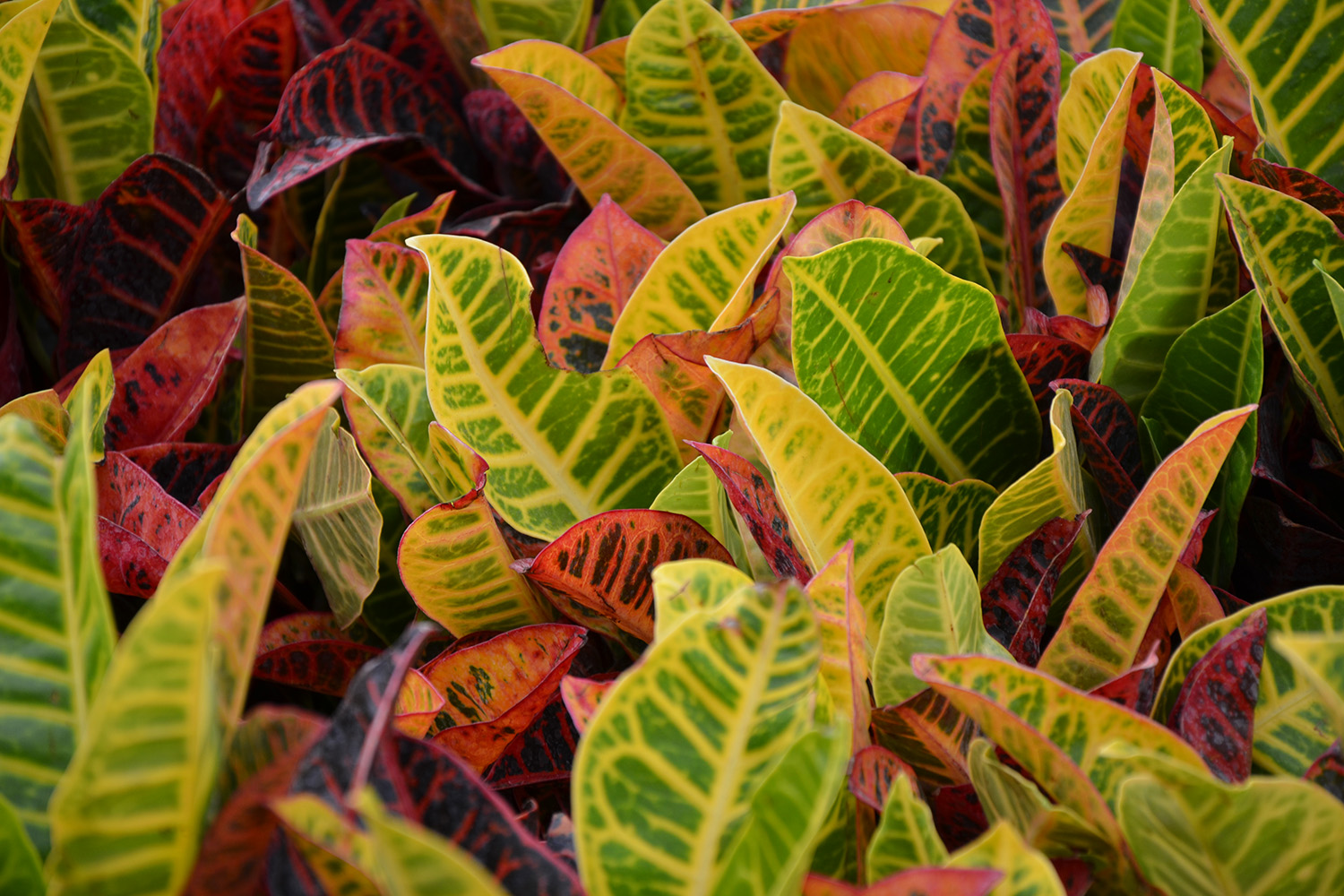 Croton, Clean Air Houseplants for sale at Patuxent Nursery
