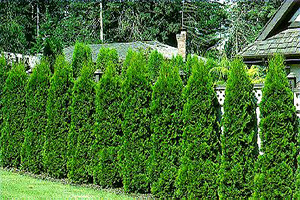 Emerald Green Arborvitae for Sale - Patuxent Nursery