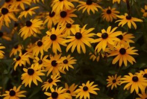 Goldsturm Perennials for Sale Online