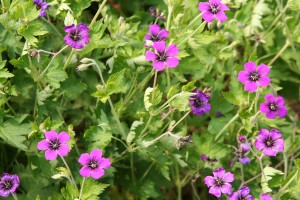 Hardy Geranium Perennials for Sale Online