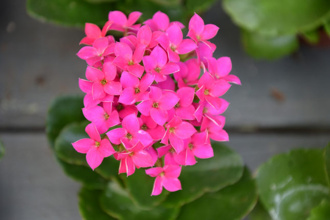 Kalanchoe - Flowering House Plants for Sale at Patuxent Nursery