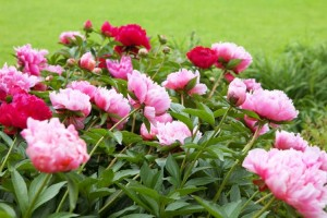 Peony Perennials for Sale Online