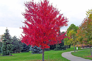 Red Maple Trees for Sale at Patuxent Nursery