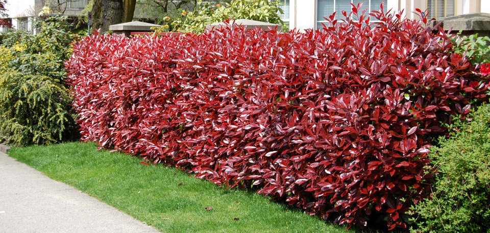 Red Tip Photinia, Privacy Shrubs For Sale in Bowie, MD
