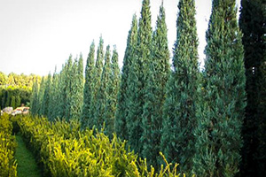 Skyrocket Juniper Trees for Sale at Patuxent Nursery