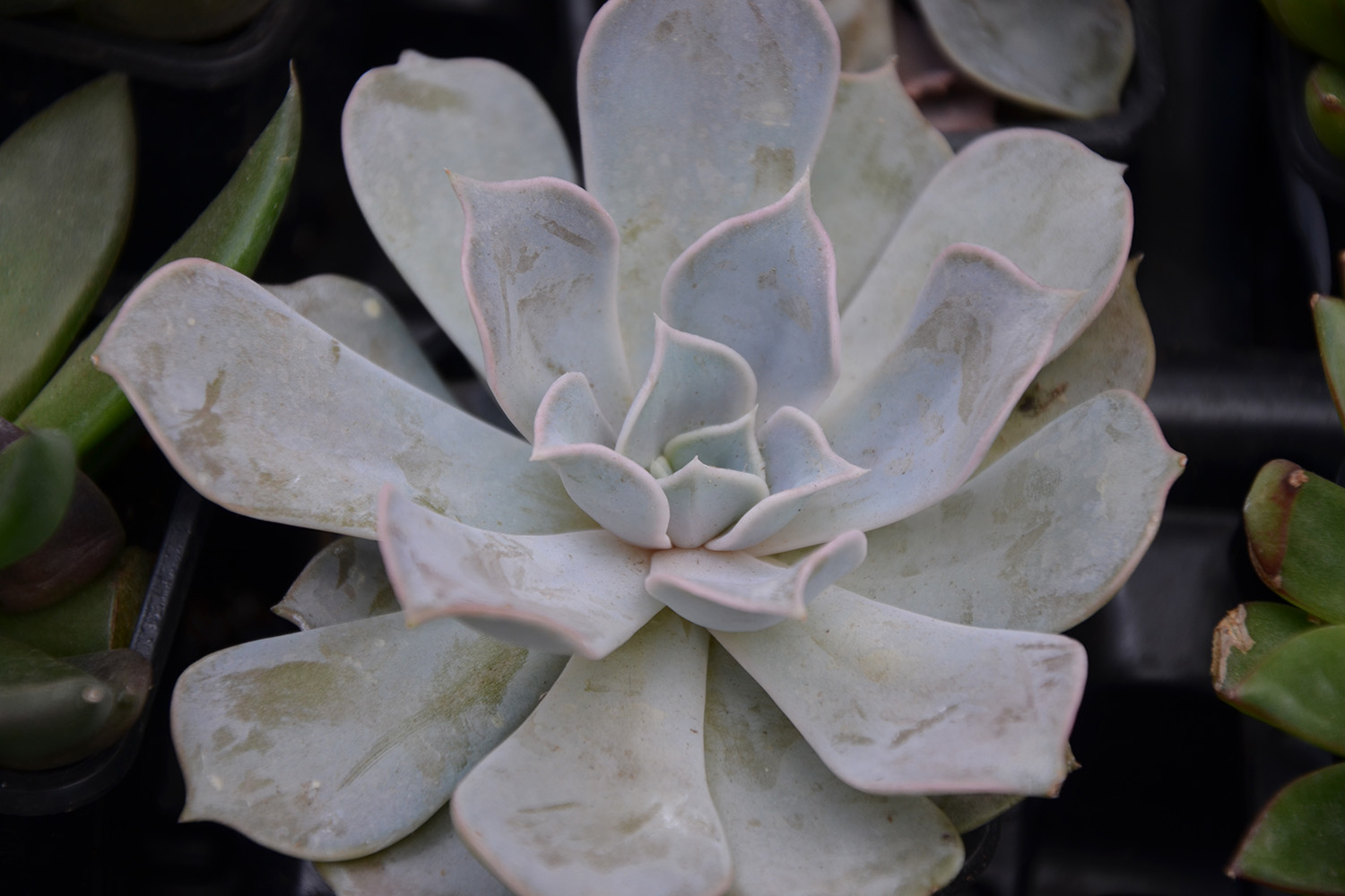Succulents for Sale - Patuxent Nursery