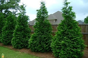 Thuja Green Giant for Sale at Patuxent Nursery