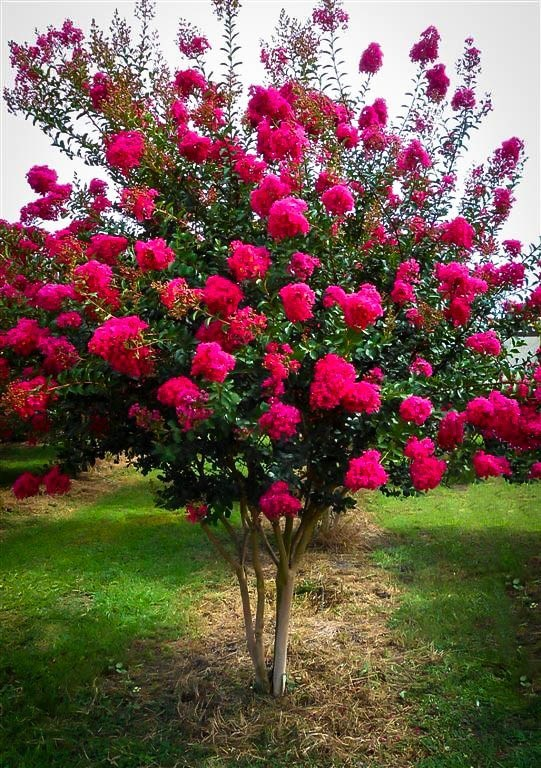 Crape Myrtle Trees - Flowering Trees for Sale at Patuxent Nursery