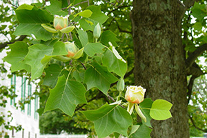 Tulip Poplar Trees for Sale at Patuxent Nursery