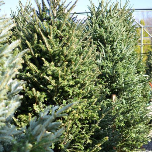 md fresh christmas trees