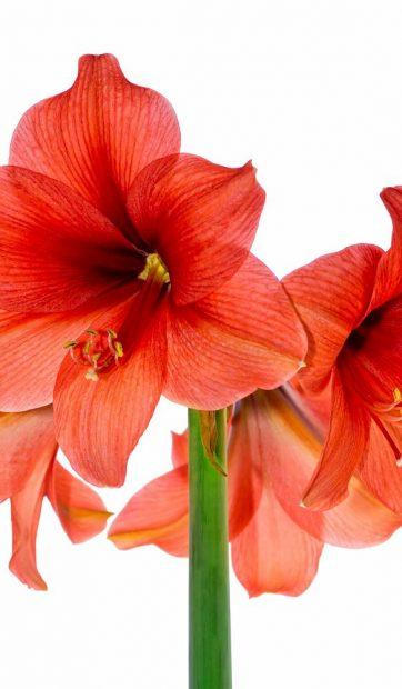 garden-state-bulb-flower-bulbs-hoh18-04-64_1000