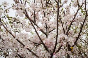 Yoshino Cherry Trees for Sale - Patuxent Nursery