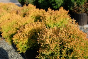 Shrubs for Sale at Patuxent Nursery in Bowie, Maryland