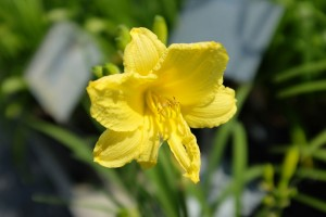 Daylily Happy Perennials Return Online