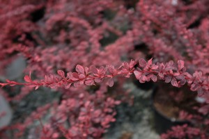 Barberry, Privacy Shrubs For Sale in Bowie, MD