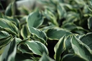 Hostas Perennials for Sale Online