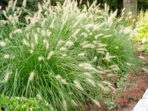 grasses and groundcovers for sale at Patuxent Nursery