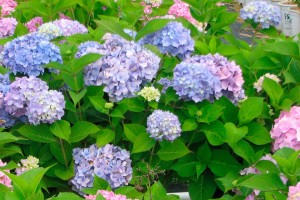 hydrangea-mac-all-summer-beauty-001