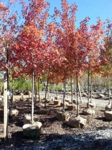 Maple Tree - Great for Fall Color - Patuxent Nursery, Bowie MD