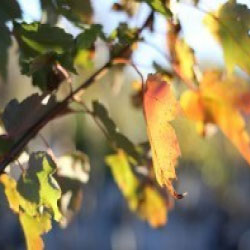 Top 5 Trees for Fall Color