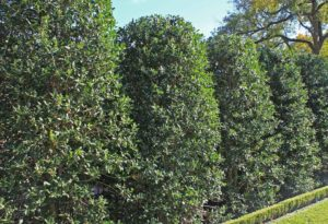 Nellie Stevens Holly for Sale at Patuxent Nursery