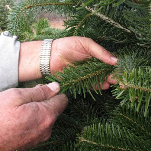 Christmas Trees for Sale at Patuxent Nursery