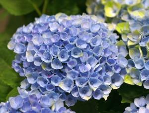 Hydrangea-magical-Revolution-Blue-stage-1-photo-Magical-Four-Seasons (1)