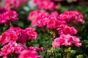 Mother's Day Gift Ideas - Patuxent Nursery