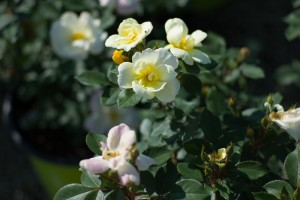 Choose Knock Out Roses for Mother's Day - Patuxent Nursery