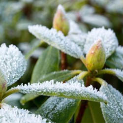 How to Care for Frost Bitten Plants | Patuxent Nursery