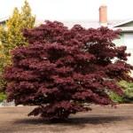 Bloodgood Japanese Maple - patuxent nursery
