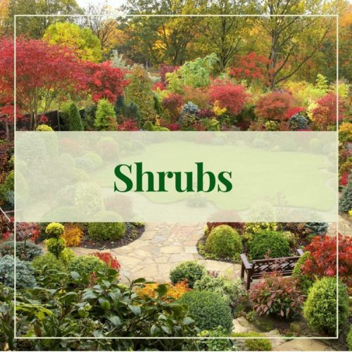 Fall Shrubs